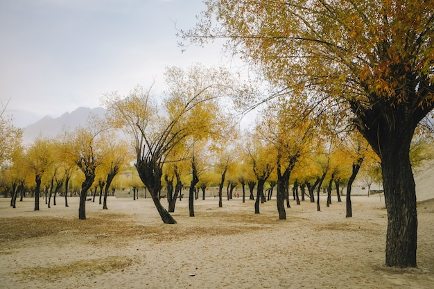 Abbellisca la vista degli alberi delle foglie di giallo nella stagione di autunno contro la montagna e il cielo.