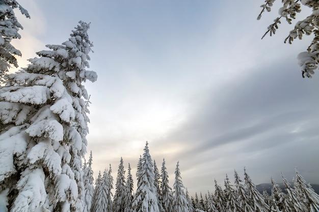 Abeti coperti di neve nella foresta di inverno