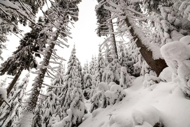 Abeti coperti di neve profonda