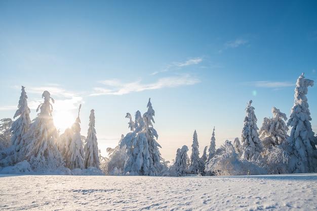 Abeti innevati di inverno sulle montagne su cielo blu con il sole