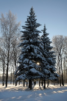 Abeti invernali coperti di neve