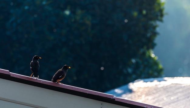 Accoppia gli acridotheres sul tetto.
