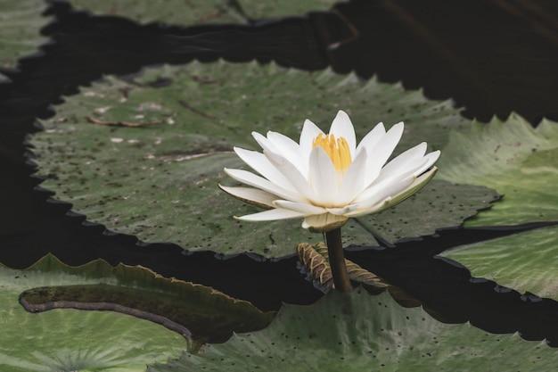 Acqua dello stagno delle foglie verdi del giglio bianco del fiore del giglio
