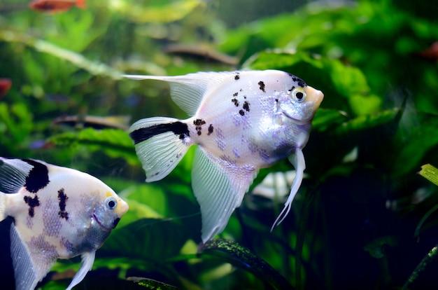 Acqua dolce luminosa con pesci pterophyllum in acquario