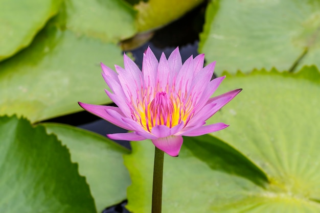 Acqua lilly, lotus