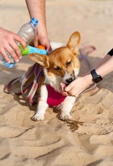 Acqua potabile del cane dalle mani del proprietario