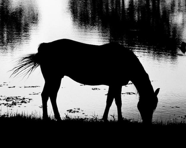 Acqua potabile del cavallo nel lago