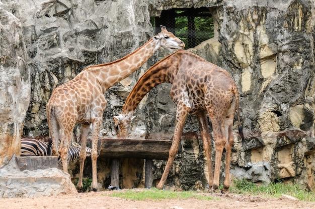 Acqua potabile della giraffa (nel selvaggio) in vassoio di legno per fondo o struttura animale.