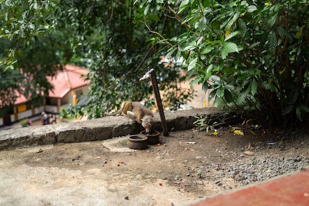 Acqua potabile della scimmia dello sri lanka poco divertente