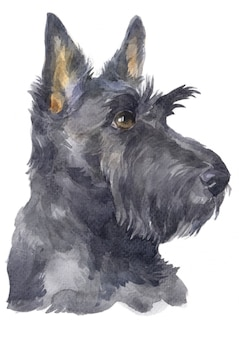 Acquarello di scottish terrier