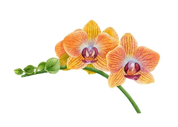 Acquerello fiori di orchidea gialle.