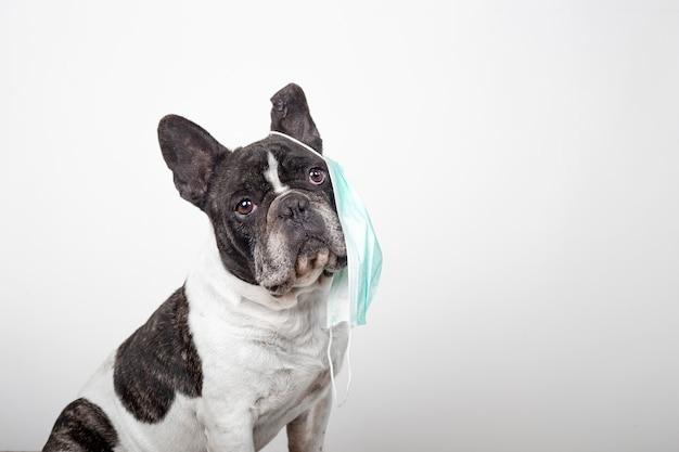Adorabile bulldog francese con maschera protettiva che incombe su un orecchio su uno sfondo bianco maschera di virus protettiva.