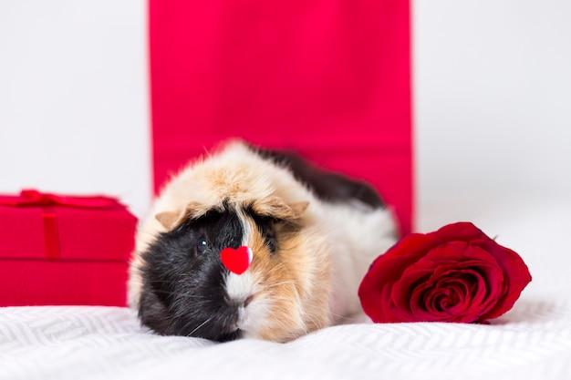 Adorabile cavia domestica con rosa rossa
