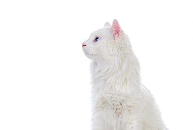 Adorabile gatto persiano bianco