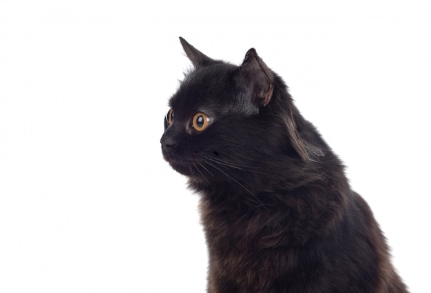 Adorabile gatto persiano nero