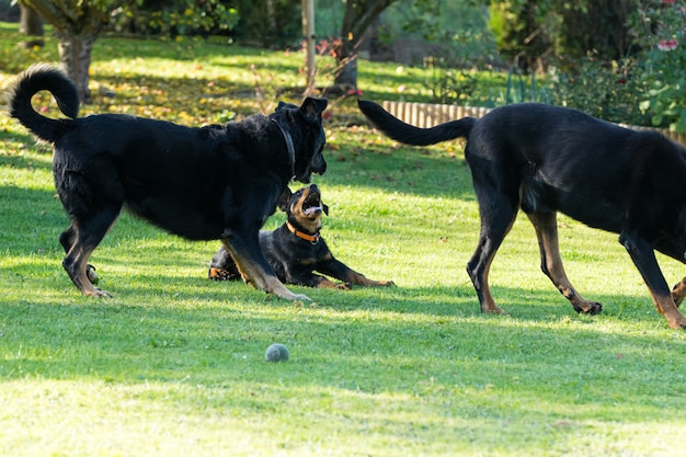 Adorabile giovane cane da pastore beauce che gioca con due grandi adulti in un giardino verde e fiorito