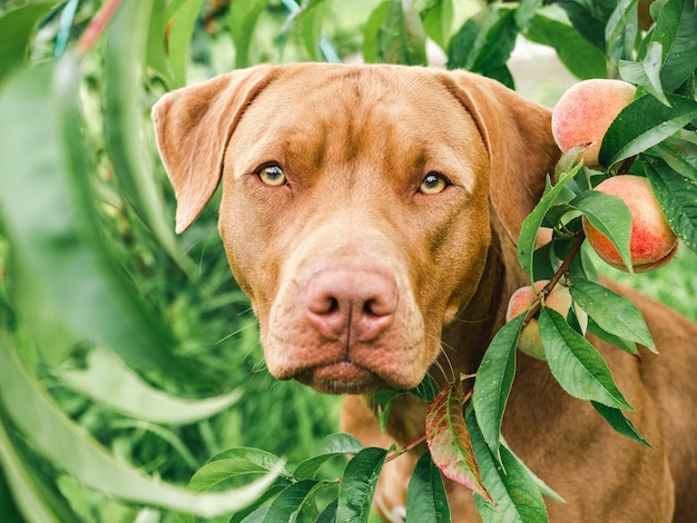 Adorabile, grazioso cucciolo di color cioccolato. primo piano, esterno luce del giorno. concetto di cura, educazione, addestramento all'obbedienza, allevamento di animali domestici