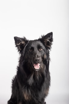 Adorabile ritratto di border collie mix di colore nero, sano e felice, nello studio fotografico su sfondo bianco.
