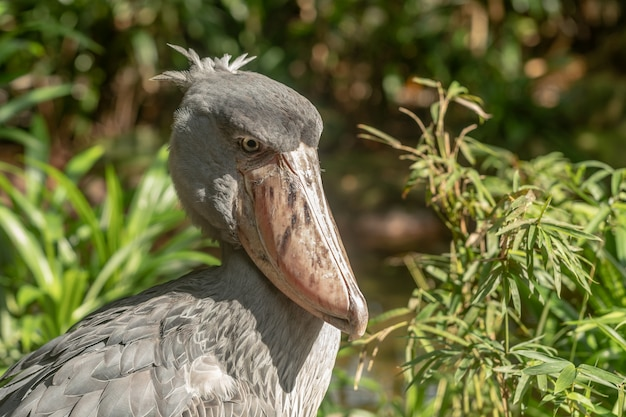 African shoebill, balaeniceps rex, noto anche come whalehead o shoe-billed stork