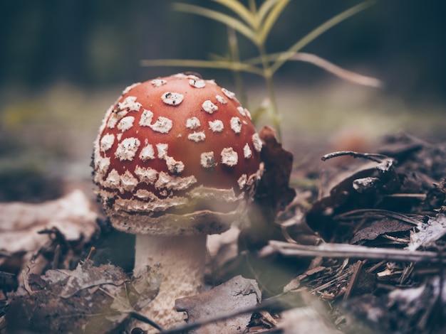 Agarico di mosca rosso nella foresta di autunno