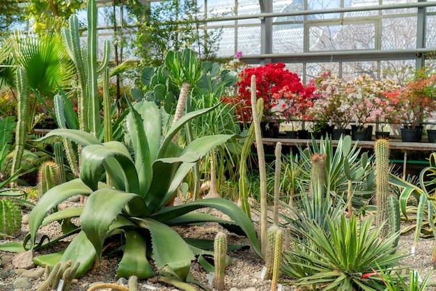Agave e cactus in natura.