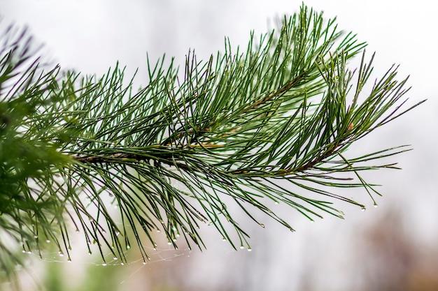 Aghi del pino con il primo piano delle gocce di acqua