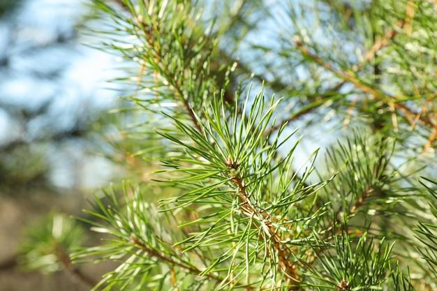 Aghi di pino sul ramo di un albero, vicino e spazio per il testo