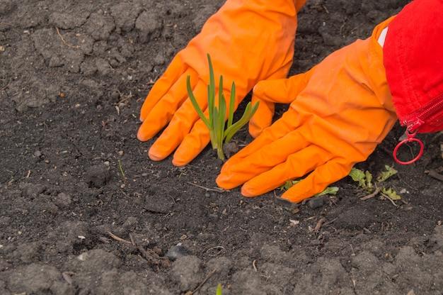 Aglio della giovane pianta nelle mani di un agronomo che indossa i guanti.