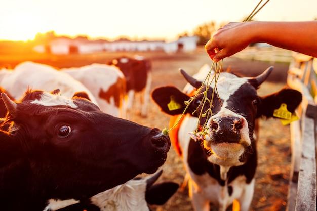 Agricoltore che alimenta le mucche con erba in cortile