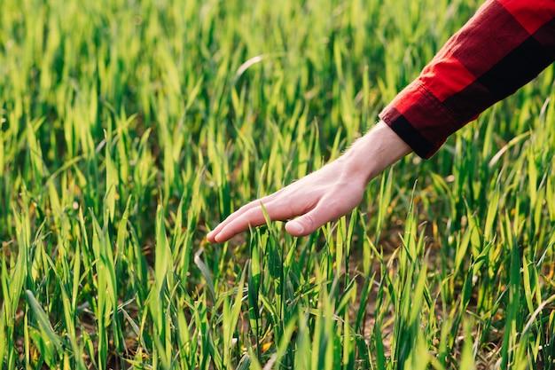 Agricoltore che esamina la giovane pianta del raccolto del grano nel campo agricolo