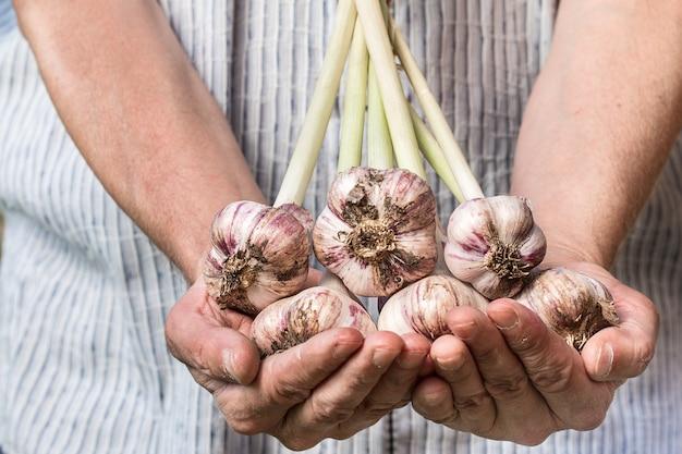 Agricoltore che tiene aglio fresco raccolto di verdure