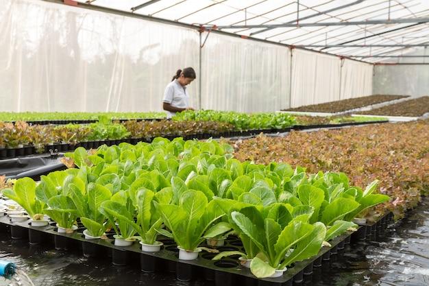 Agricoltore della donna nell'azienda agricola di coltura idroponica delle verdure