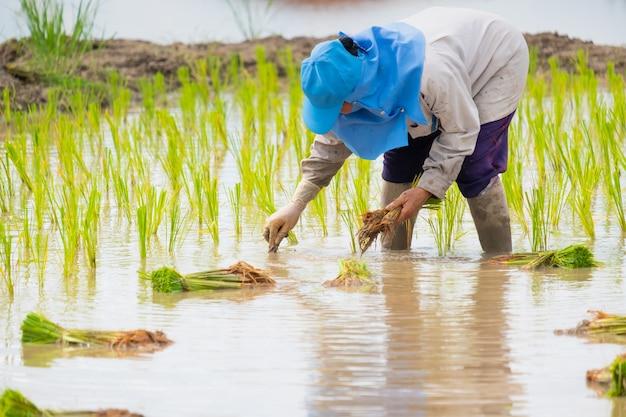 Agricoltore femminile che indossa cappello blu, piantando riso sul campo di riso. persone che indossano camicie grigie a maniche lunghe e guanti di gomma stanno lavorando.