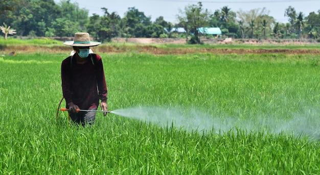 Agricoltore irrorazione di pesticidi nel campo di riso verde