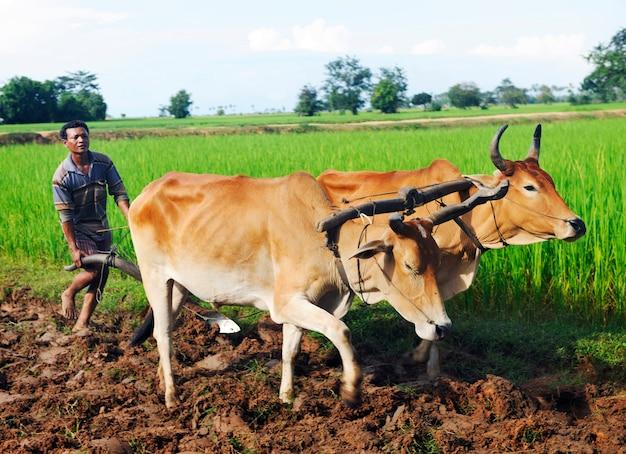 Agricoltore locale di camodian che ara il terreno.