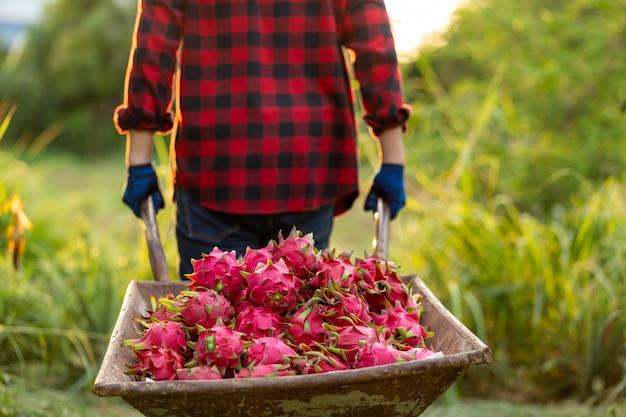Agricoltori asiatici con carrello la frutta del drago in giardino
