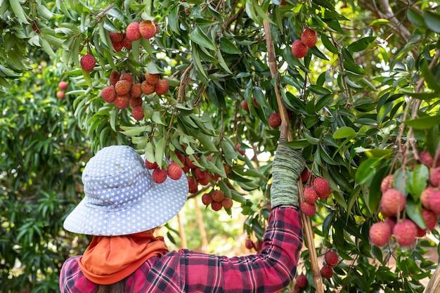 Agricoltura della frutta del lychee in tailandia