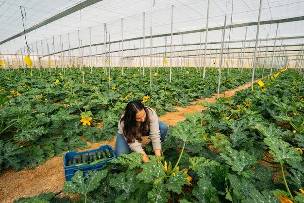 Agricoltura della giovane donna che lavora in una serra dello zucchini. donna che raccoglie le migliori zucchine fresche e le mette nella scatola sul mercato.