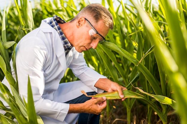 Agronomo ispezionando attentamente una foglia di mais