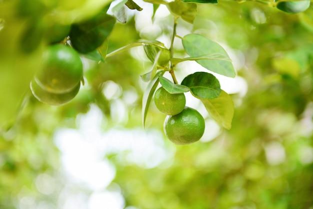 Agrumi freschi della calce nella fattoria del giardino agricola con sfocatura verde della natura