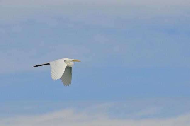 Airone bianco in volo