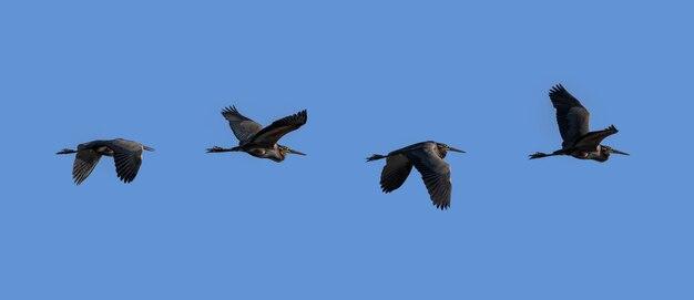 Airone imperiale che sorvola il cielo blu