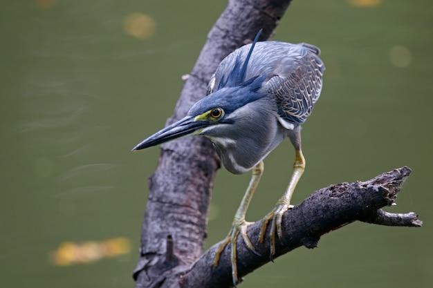 Airone striato butorides striata bellissimi uccelli della thailandia