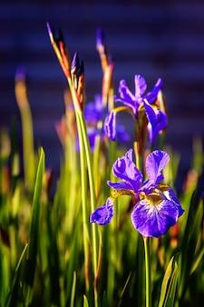 Aiuola con iris viola