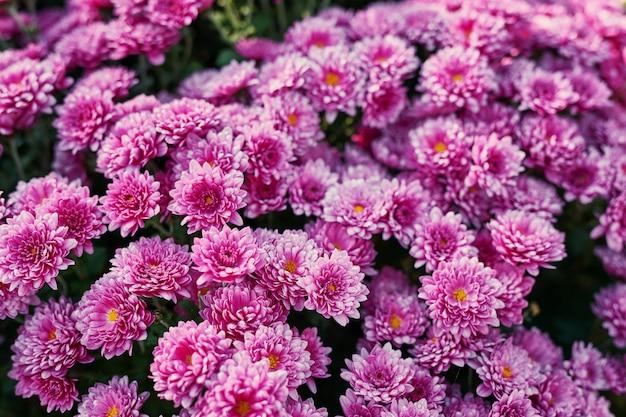 Aiuola di crisantemo viola, modello di carta o calendario