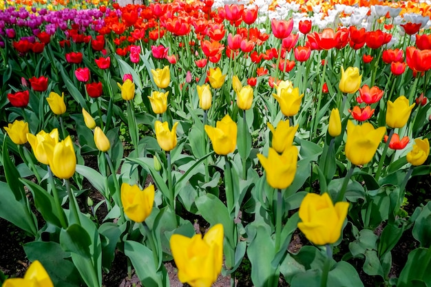 Aiuola rossa e gialla dei bei tulipani del primo piano giorno soleggiato luminoso nel parco di fiore della primavera maggio. incredibili fiori primaverili.