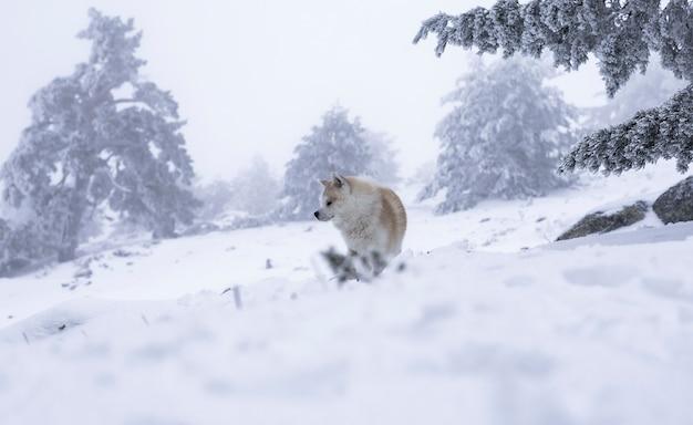 Akita inu nella neve
