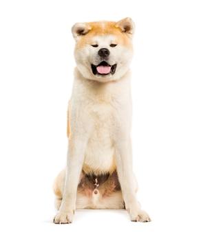 Akita inu seduto su sfondo bianco