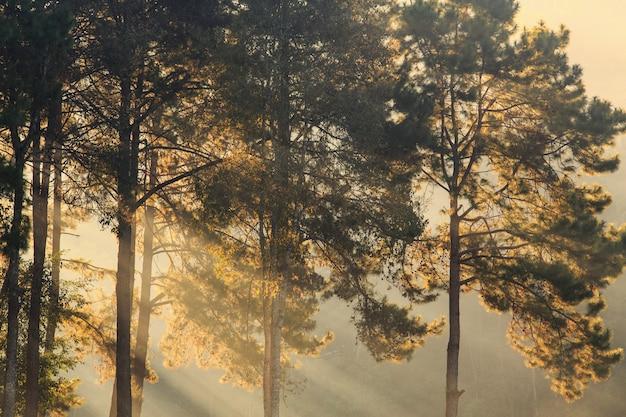 Alba nebbiosa di mattina con il pino e raggio di luce in foresta, fondo della natura