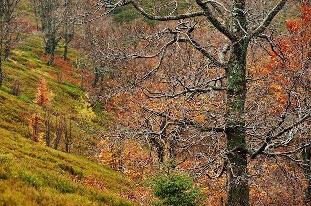 Alberi da betulla nudi sulle montagne di autunno